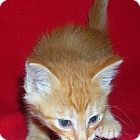 Adopt A Pet :: Rez Kitten #3 - Yakima, WA