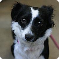 Adopt A Pet :: Domino - Canoga Park, CA
