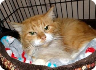 Domestic Mediumhair Cat for adoption in union, Missouri - Fantasia