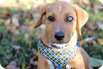 Australian Shepherd/Labrador Retriever Mix Puppy for adoption in Brattleboro, Vermont - PUPPY TRUSTY
