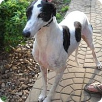 Adopt A Pet :: PMB Obelia - Knoxville, TN