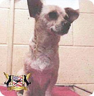 Chihuahua Mix Dog for adoption in Spokane, Washington - Heittie