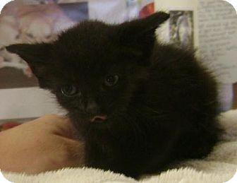 Domestic Shorthair Kitten for adoption in Knoxville, Iowa - Panda