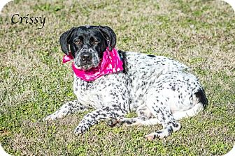 Pointer Mix Puppy for adoption in Lancaster, Texas - Crissy