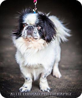 Pekingese Mix Dog for adoption in Southern Pines, North Carolina - Buster