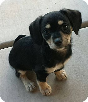 Terrier (Unknown Type, Small)/Chihuahua Mix Puppy for adoption in Hurricane, Utah - Harlan