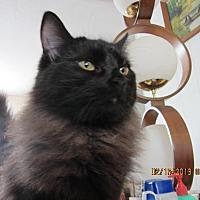 Oriental Cat for adoption in Walnut Creek, California - Sprite