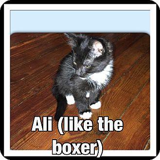 Domestic Shorthair Kitten for adoption in Louisville, Kentucky - Ali