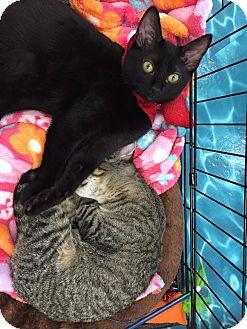 Domestic Mediumhair Kitten for adoption in Mansfield, Texas - Abby