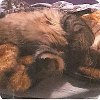 Adopt A Pet :: Haji,  Maine coon - brewerton, NY