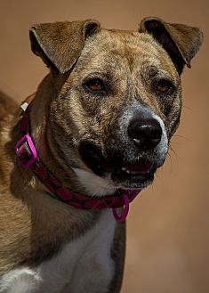 Pit Bull Terrier/Shar Pei Mix Dog for adoption in Westminster, California - Deedee