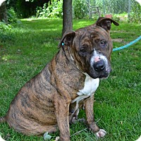 American Staffordshire Terrier Mix Dog for adoption in Broadway, New Jersey - Tuesday