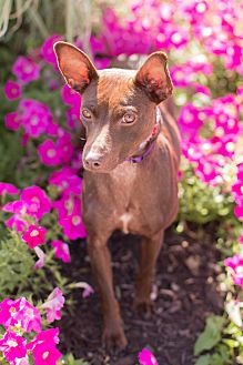 Miniature Pinscher/Rat Terrier Mix Dog for adoption in Syracuse, New York - Bonnie