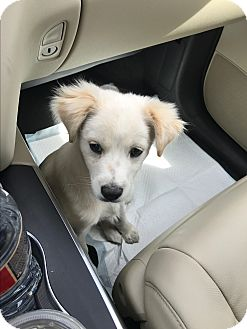 Collie Mix Puppy for adoption in Portland, Oregon - Ash