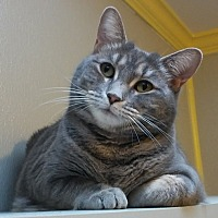 Domestic Shorthair Cat for adoption in Dallas, Texas - CICI