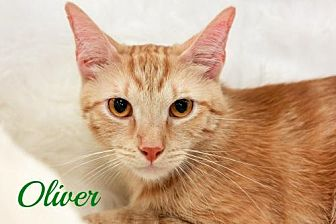 Domestic Shorthair Cat for adoption in Knoxville, Tennessee - Oliver  Male