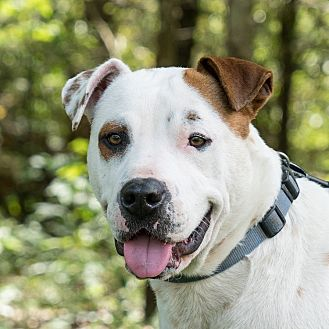 American Staffordshire Terrier Mix Dog for adoption in Tomball, Texas - Denver