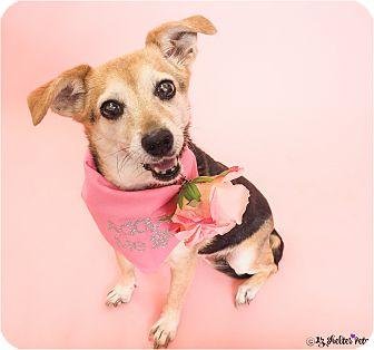 Beagle/Chihuahua Mix Dog for adoption in Phoenix, Arizona - Bella