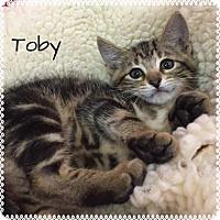 Domestic Shorthair Kitten for adoption in Jasper, Indiana - Toby
