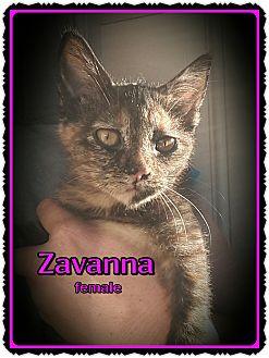 Domestic Shorthair Kitten for adoption in Richmond, California - Zavanna