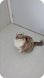 Domestic Longhair Cat for adoption in Orillia, Ontario - Geraldine