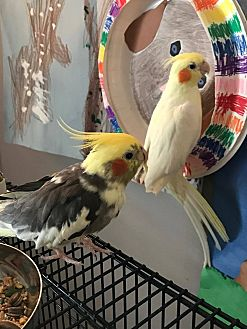 Cockatiel for adoption in St. Louis, Missouri - Susan and Lightning