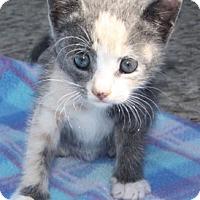 Adopt A Pet :: Comet 07-4090 - Fremont, CA