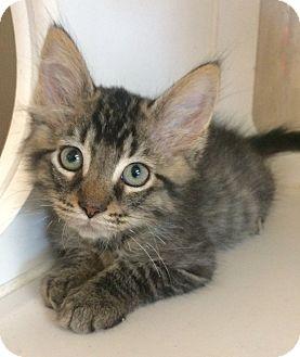 Domestic Mediumhair Kitten for adoption in Breese, Illinois - Baby