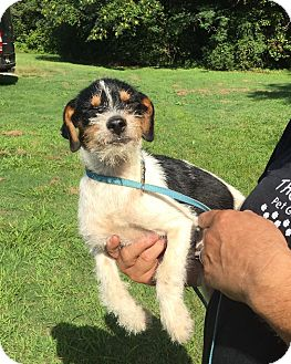 Jack Russell Terrier/Terrier (Unknown Type, Small) Mix Puppy for adoption in Scranton, Pennsylvania - Marie