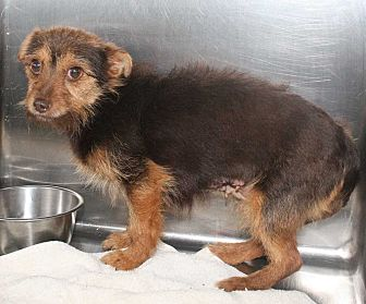Yorkie, Yorkshire Terrier/Chihuahua Mix Dog for adoption in Fort Madison, Iowa - COOKIE