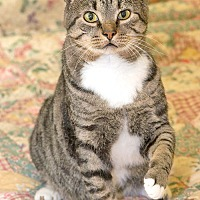 Domestic Shorthair Cat for adoption in Youngsville, North Carolina - Chevy