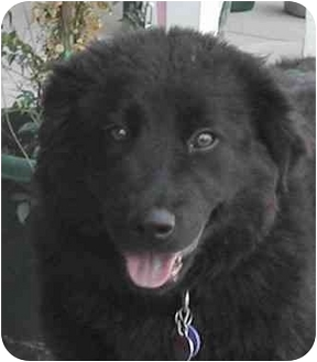 Flat-Coated Retriever Mix Puppy for adoption in Rolling Hills Estates, California - Sassy