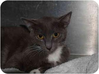 Domestic Shorthair Cat for adoption in El Cajon, California - Ava