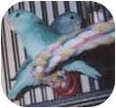 Parrotlet for adoption in Independence, Kentucky - Marcell/Coco