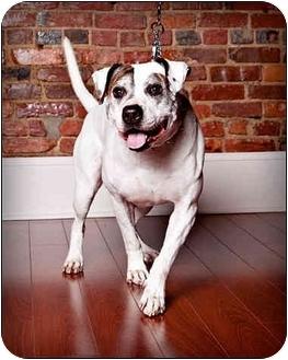 American Bulldog/Terrier (Unknown Type, Medium) Mix Dog for adoption in Owensboro, Kentucky - Blitz