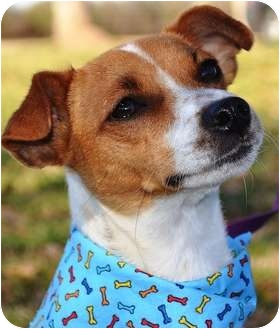 Jack Russell Terrier Mix Dog for adoption in Portsmouth, Rhode Island - Lucy w/video!