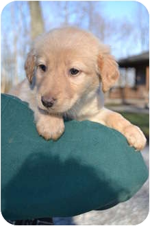 Labrador Retriever Mix Puppy for adoption in Salem, Massachusetts - Snowflake