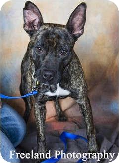 American Pit Bull Terrier Mix Dog for adoption in Jackson, Michigan - Kiki