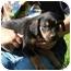 Photo 2 - Rottweiler Mix Puppy for adoption in Spring Valley, New York - Miss Piggy