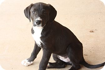 Labrador Retriever Mix Puppy for adoption in Glastonbury, Connecticut - Daphne