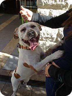 Coonhound/American Bulldog Mix Dog for adoption in Las Vegas, Nevada - Bob