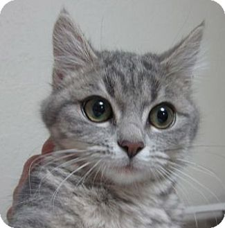 Domestic Shorthair Kitten for adoption in Buhl, Idaho - Heather
