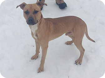 Pit Bull Terrier/Labrador Retriever Mix Dog for adoption in Bloomfield, Connecticut - Halfpipe