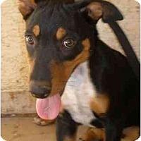 Adopt A Pet :: Bruno - Gilbert, AZ
