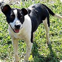 Adopt A Pet :: Cow - Port Orange, FL