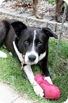 Cattle Dog Mix Dog for adoption in Rochester, Minnesota - Shellmer