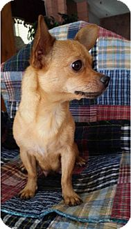 Chihuahua Dog for adoption in Mesa, Arizona - LOVEY 2 YR CHIHUAHUAH ADOPTION FEE $100