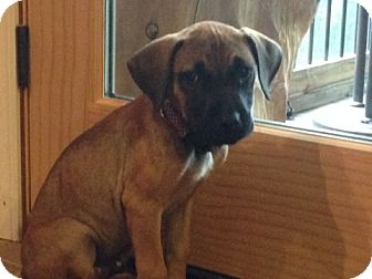 Boxer Mix Puppy for adoption in Birmingham, Alabama - **COURTESY POST**Rogue
