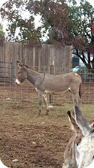 Donkey/Mule/Burro/Hinny Mix for adoption in Sac, California - Breeze
