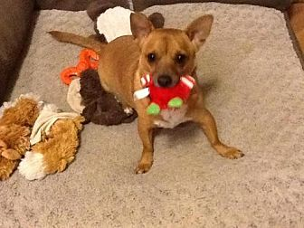 Chihuahua Mix Dog for adoption in Phoenix, Arizona - BROPHY